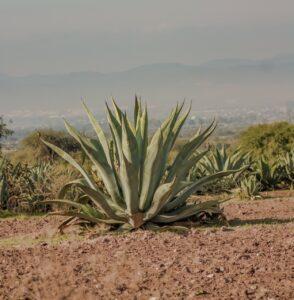 Die Aloe Vera Pflanze